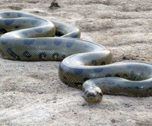 where do Anacondas live