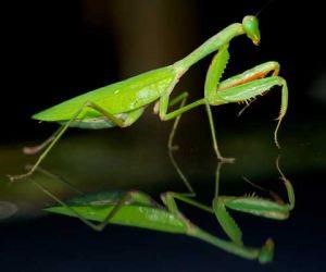 معلومات عن حشرة فرس النبي بالصور
