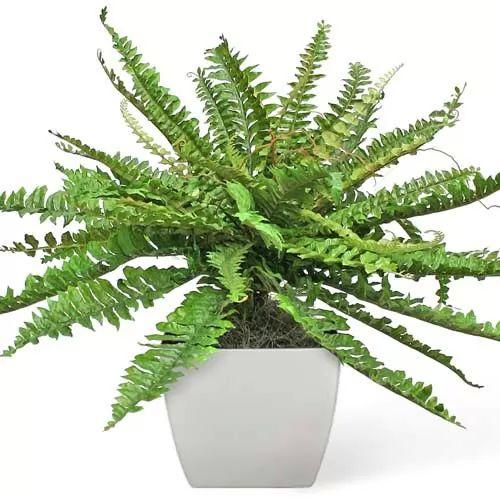 نبات سرخس بوسطن 7335-4-or-1435601509
