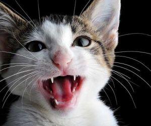 ما هي اسباب مواء القطط ؟