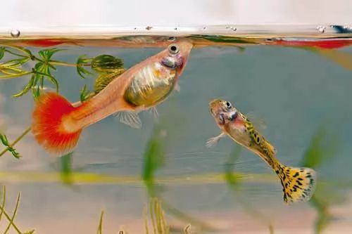 ما هو اكل اسماك الزينة المناسب لهم ؟