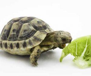 كيف يمكن تربية السلاحف في المنزل ؟
