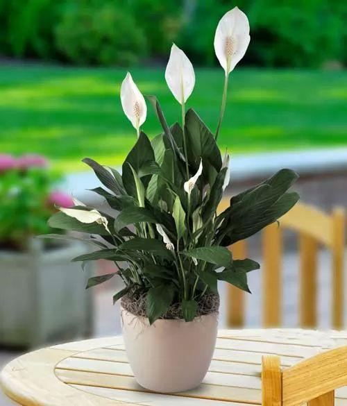 صور - افضل نباتات الزينة لتنقية هواء المنزل