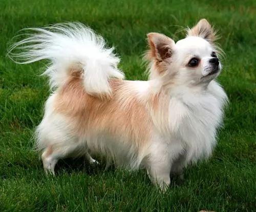 جميع المعلومات عن كلب المالينو malinois