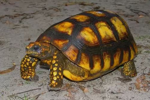 صور - السلحفاة صفراء القدمين احد افضل السلاحف الاليفة