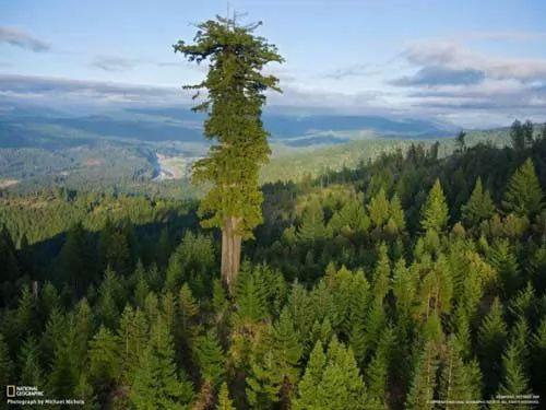 صور - اين توجد اطول شجرة في العالم ؟