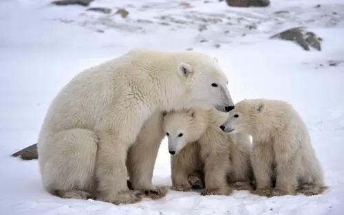 بعض انواع الحيوانات القطبية التى تعيش بالجليد