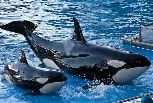 صور - حقائق عن طفل الحوت القاتل اوركا