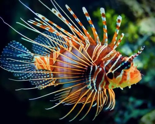 هل سمكة التنين اكبر كائن بحري سام ؟ تعرف عليها ! 8041-1-or-1460902324