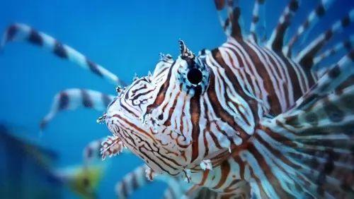 هل سمكة التنين اكبر كائن بحري سام ؟ تعرف عليها ! 8041-2-or-1460902326