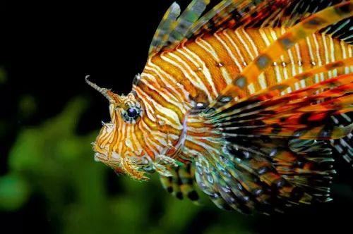 هل سمكة التنين اكبر كائن بحري سام ؟ تعرف عليها ! 8041-3-or-1460902327