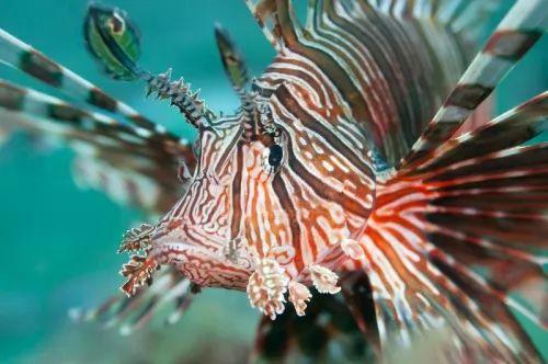 هل سمكة التنين اكبر كائن بحري سام ؟ تعرف عليها ! 8041-4-or-1460902328