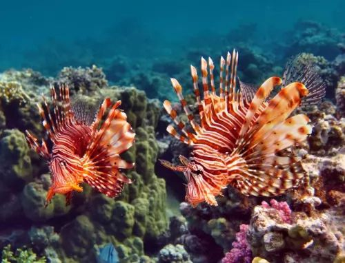 هل سمكة التنين اكبر كائن بحري سام ؟ تعرف عليها ! 8041-5-or-1460902329