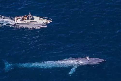 الحوت الازرق اكبر حوت في العالم