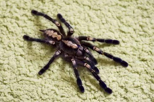 انواع العناكب السامة في العالم بالصور