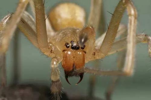 صور - انواع العناكب السامة في العالم بالصور