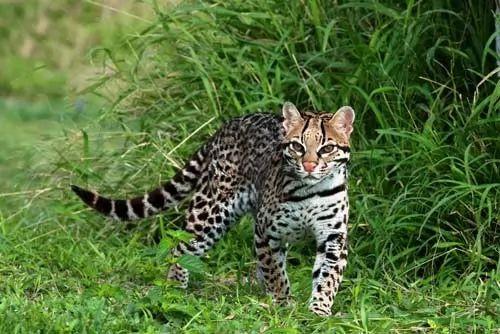 صور - 10 من اشهر انواع القطط الكبيرة في العالم بالصور