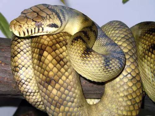 صور - ما هو اكبر ثعبان في العالم ؟ تعرف على القائمة بالتفصيل