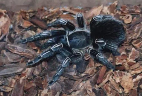 هل اكبر عنكبوت في العالم يأكل الطيور ؟