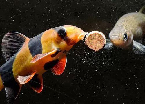 صور - كيف تختار اكل سمك الزينة بطريقة سليمة ؟