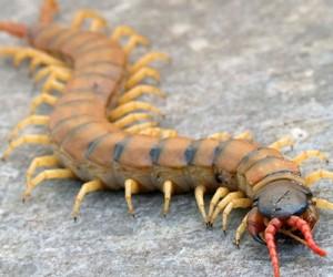 حشرة أم أربعة وأربعين هل هي سامة وكيف يمكن التخلص منها ؟
