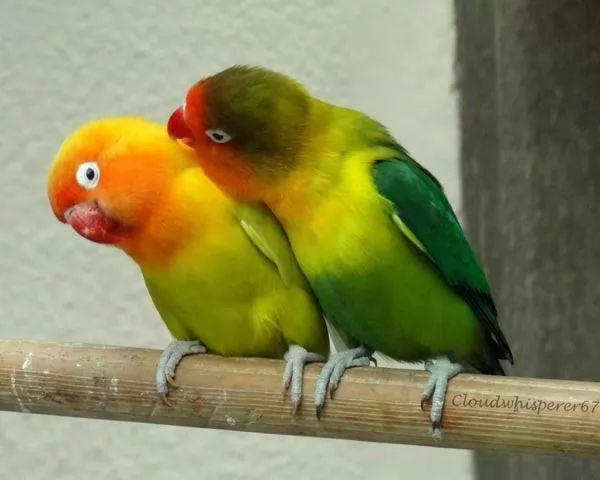 Citaten Love Bird : من اشهر انواع الببغاء الاليفة في العالم بالصور والفيديو