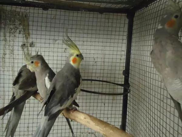 صور - كيف تعتني بطيور الكوكتيل في المنزل ؟