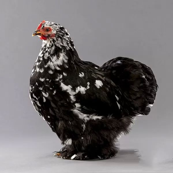 10 من انواع الدجاج في العالم 8387_3_or_1469969812.jpg