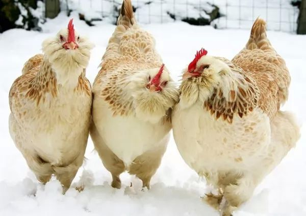 10 من انواع الدجاج في العالم 8387_7_or_1469969816.jpg