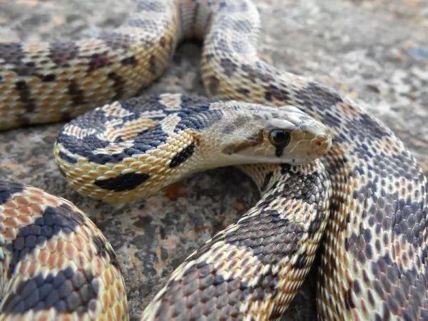 تربية الثعابين الاليفة انواعها