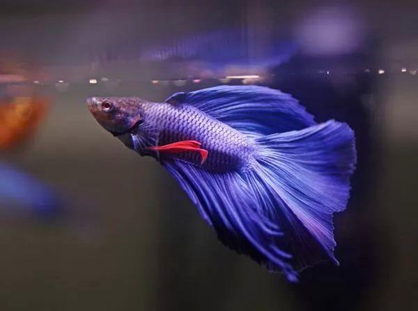 صور - كيفية تربية والعناية بسمك الفايتر في المنزل
