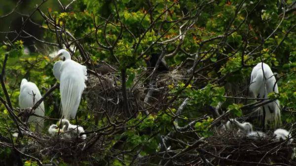 صور - الطيور تستخدم التماسيح كحراس شخصيين لها !!!