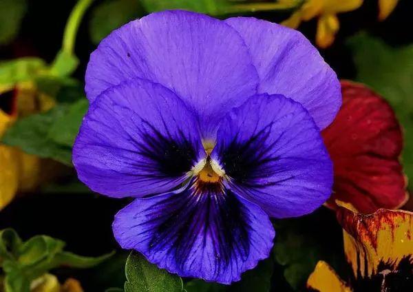 صور - ما هي زهرة البنفسج وكيف يمكن زراعتها ورعايتها ؟