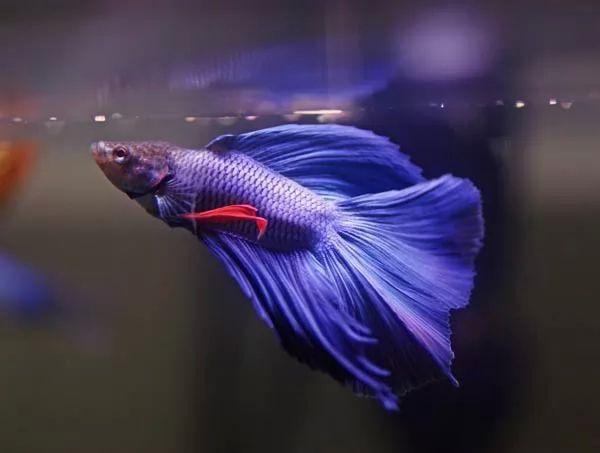 صور - تربية اسماك الفايتر اجمل اسماك الزينة