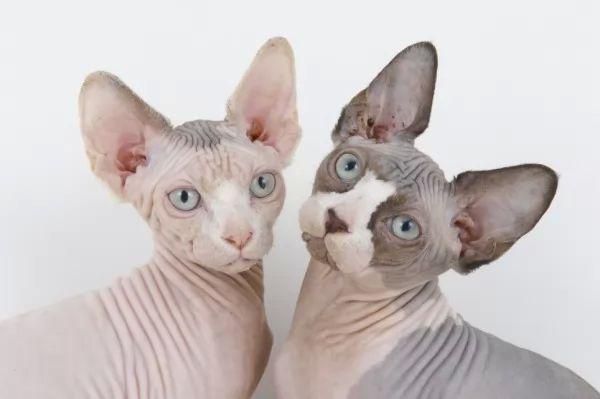 صور - ما الذي يميز القط الاصلع عن غيره من القطط ؟