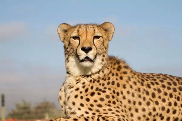 صور - معلومات عن الفهد الصياد الماهر