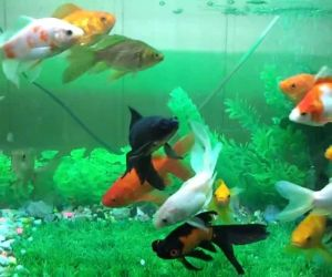 أسماك جولد فيش قوية الى حد ما، وهذه الأسماك تعيش الى فترة طويلة اذا تم الإهتمام بها ورعايتها بشكل مناسب، فإذا كنت تراقبها مثل الأشياء الثمينة التى ...