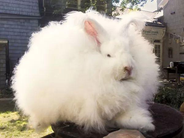صور - أرنب الأنجورا اغرب ارنب فى العالم بالصور