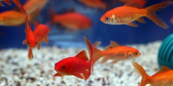 عملية تكاثر السمكة الذهبية
