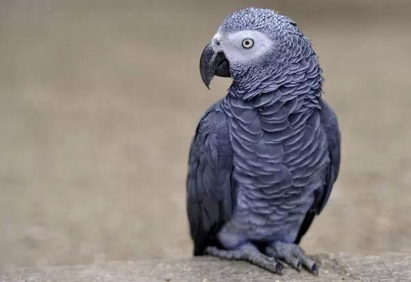 الببغاء الرمادي الافريقي من الطيور الذكية الساحرة 8922_3_or_1482308774