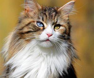 انه من الطبيعي ان تتغير لون عيون القطط الشابة خلال الأشهر القليلة الأولى من الحياة، ولكن إذا عيون القطط  بدأت في التحول بعد ثلاثة أشهر من العمر، يمكن ...