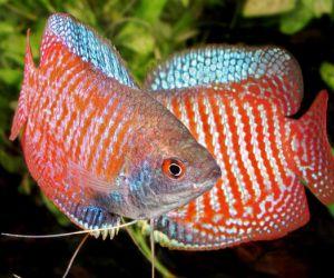 هناك انواع سمك الزينة مثل أسماك الغابي و العصفور قد يكونون من الاختيارات الجيدة لهواة حوض السمك ، ولكن هناك الكثير من انواع سمك الزينة للاختيار من ...