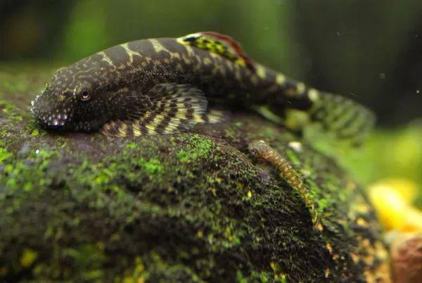 صور - حقائق مثيرة عن أسماك اللوتش النهري