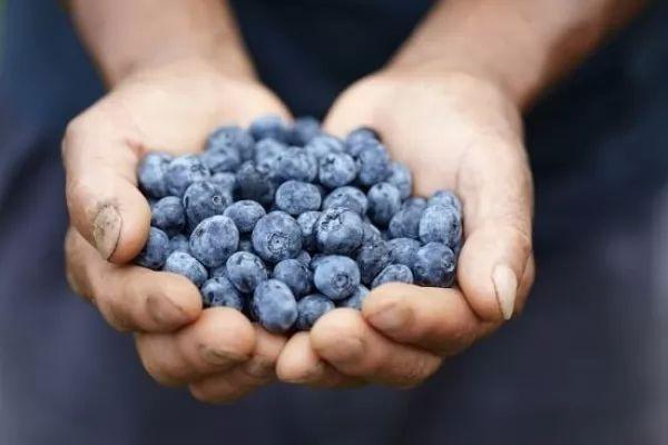 حقائق عن العناصر الغذائية والفوائد الصحية للتوت الأزرق