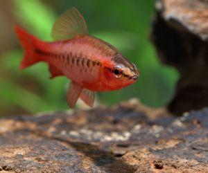 أسماك غارا من الأسماك المفضلة للمبتدئين والخبراء، وأسماك غارا يمكن العثور عليها بسهولة لأن لديهم زعنفة واحدة فقط في الأعلى، وأسماك غارا جذابة للغاية، ...