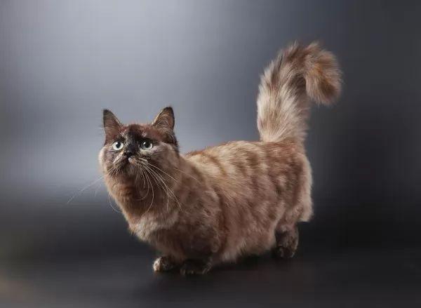 صور - معلومات مثيرة عن أنواع القطط القزمة