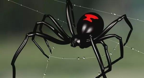 عنكبوت الأرملة السوداء