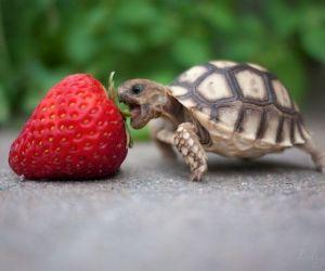 السلاحف الصغيرة رائعة ومن الحيوانات الأليفة البديعة، ولكن هل تعرف أفضل طريقة لتغذية واحدة من هذه السلاحف الصغيرة ؟ فهذه الكريات التي تباع في متاجر ...