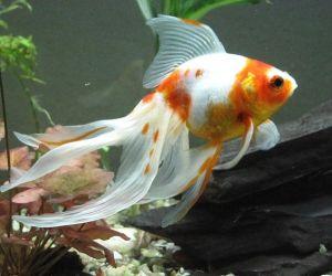 السمكة الذهبية تعتبر واحدة من الأسماك المفضلة لدى هواة تربية الأسماك، فأسماك الجولد فيش من الأسماك الشعبية جدا اليوم، وكان ذلك منذ 100 عاما مضت، وهي ...