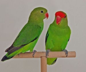 طيور الحب الحبشية تسمى أيضا ببغاء الحب الحبشية أو الببغاوات ذات الأجنحة السوداء، وهي واحدة من طيور الحب النادرة، وعلى الرغم من نجاح تربيتها في الأسر، ...